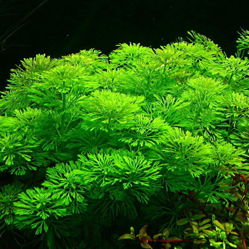 Easy Limnophila Sessiliflora Plants для аквариума
