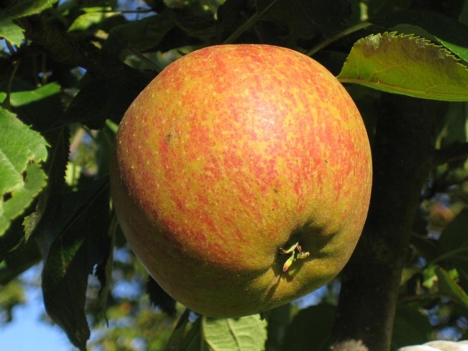 сорт яблони оранжевое фото и описание сорта образом, при