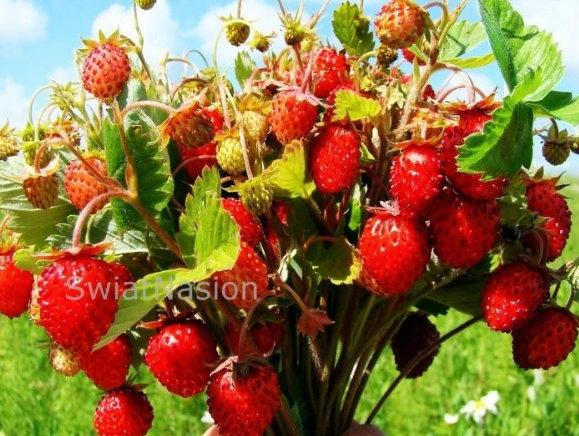 Poziomka GIGANT Olbrzymie Owoce w 3 miesiące