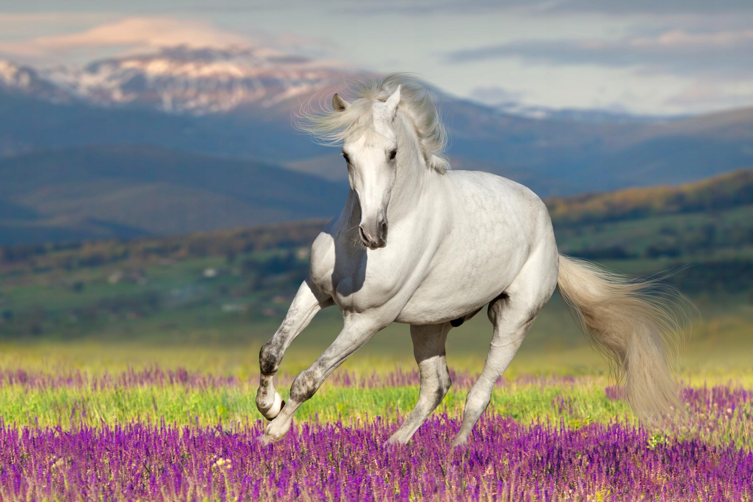 Fototapeta Zwierzęta Konie Koń Klacz Biegnące Koni 7789242361 Allegro Pl