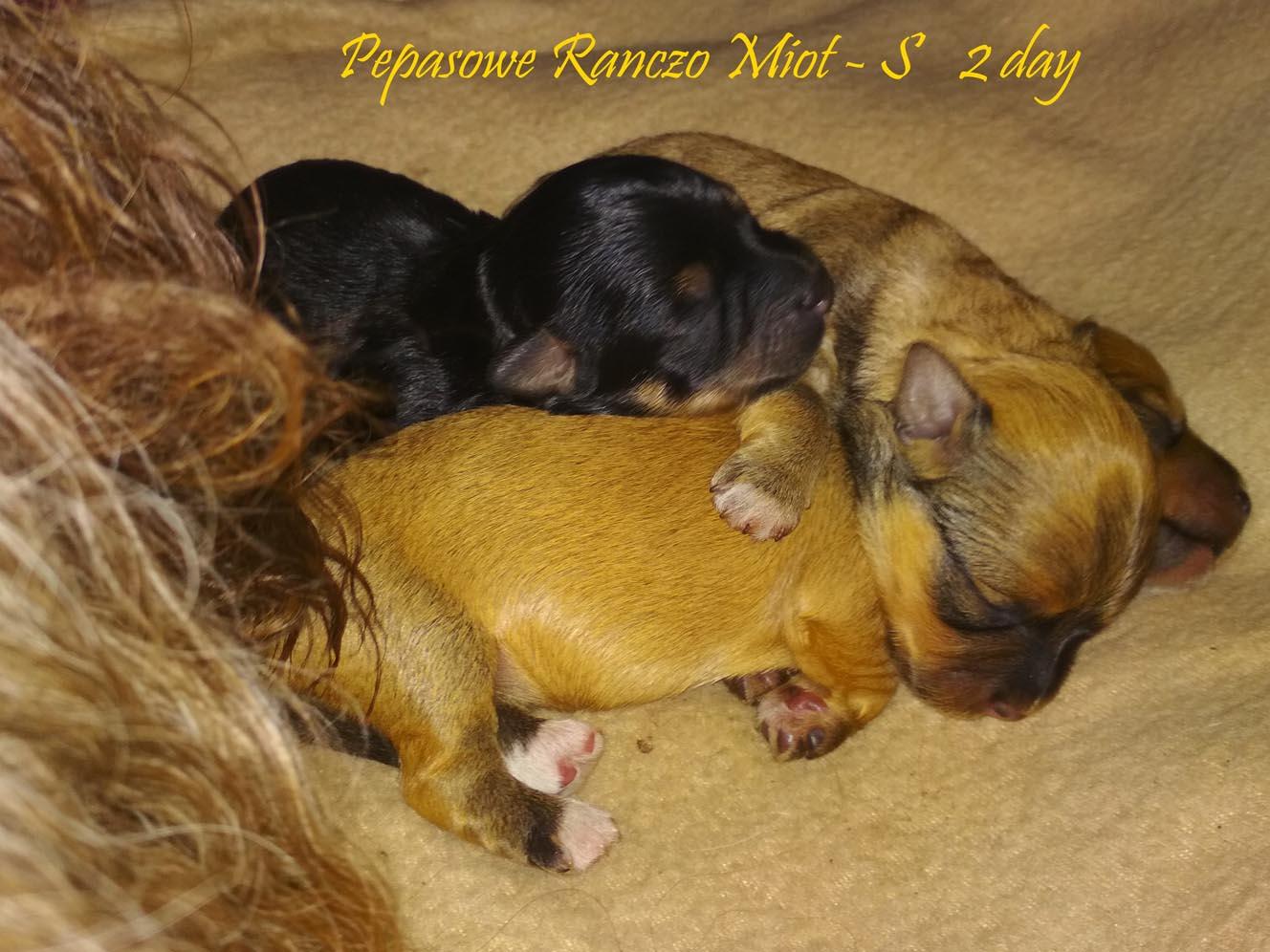 Hawańczyk Zkwp Fci Nie Maltańczyk York Shih Pies