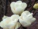 Śnieżnobiała Magnolia Alba Superba