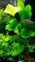 Лотос зеленый тайвань МОЛОДЫЕ Nymphoides hydrophylla
