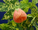 Abutilon pictum orange - na taras