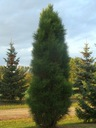 Sosna czarna Pyramidalis sadzonka soliter