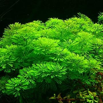 Легко Limnophila Sessiliflora Растения в аквариум доставка товаров из Польши и Allegro на русском