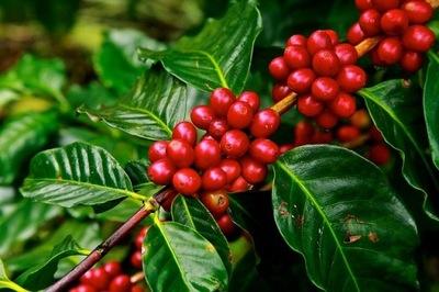 Coffea Арабика - кофе - СЕМЕНА