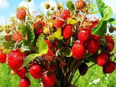 Земляника-ГИГАНТ-Гигантских фрукты 3 месяца