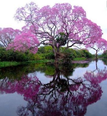 ПАВЛОНИЯ Ноль ,1 ? Дерево КИСЛОРОДА 'T цветы СЪЕДОБНЫЕ