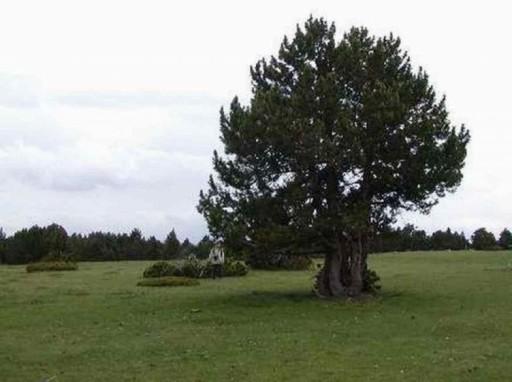 Sosna hakowata wielodoniczka bonsai. ogród, styl
